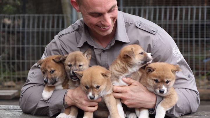 DingoPuppies3