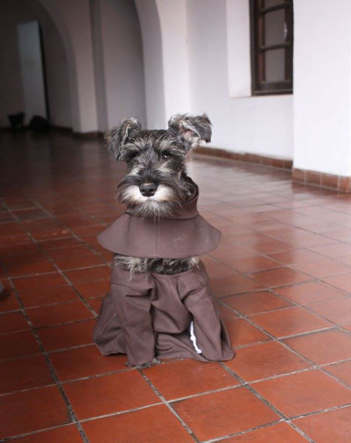 dog-took-silence-schnauzers-010