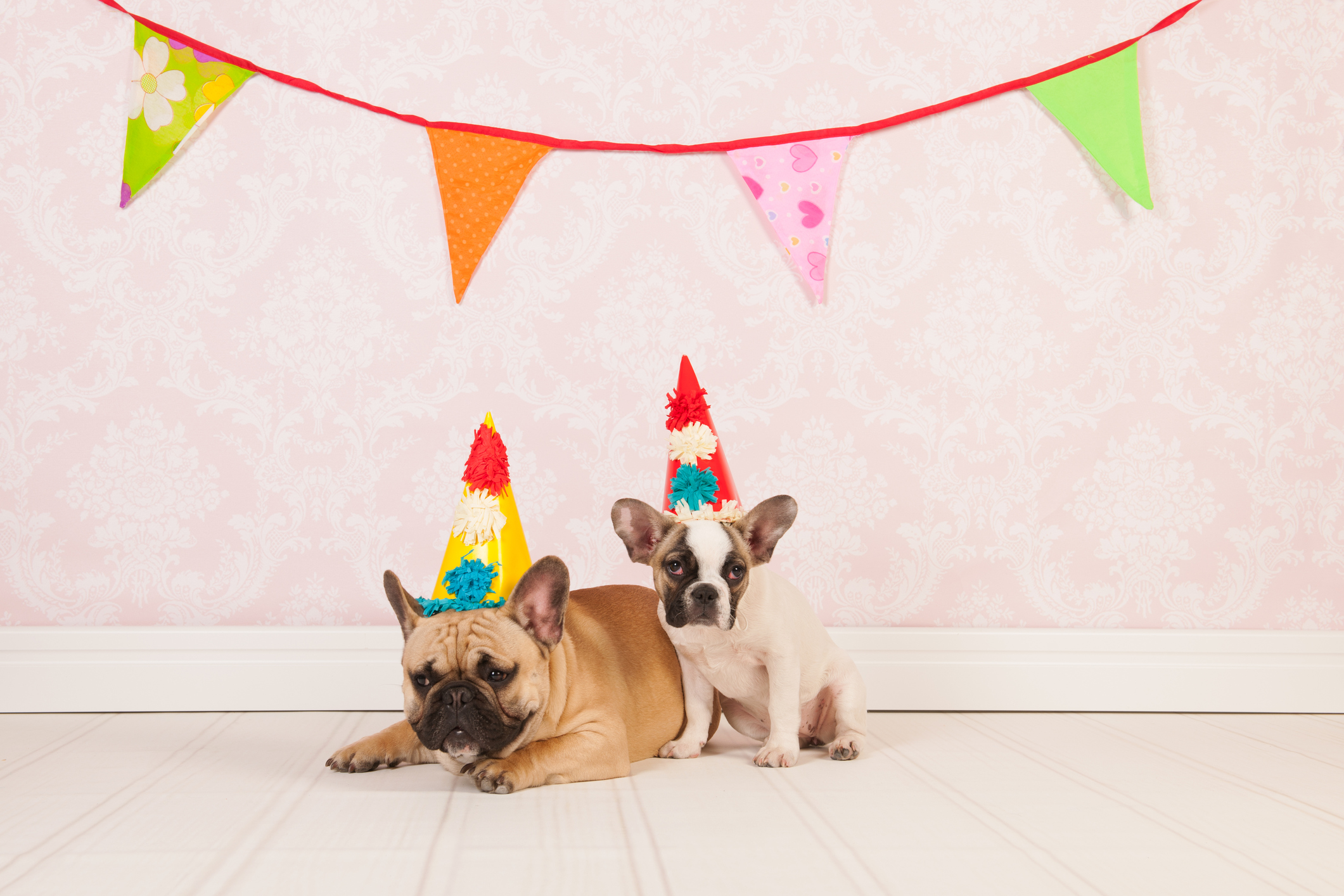 Two French bulldogs are having birthday in room with vintage wallpaper