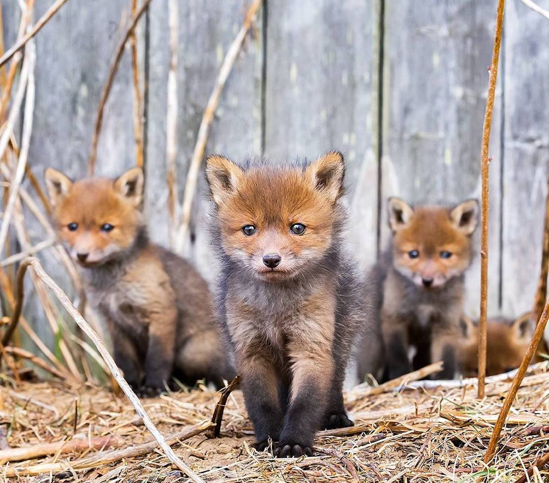 fox-portrait-series-ossi-saarinen-21